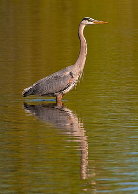 Photograph - Great Blue Heron by Gary Lengyel
