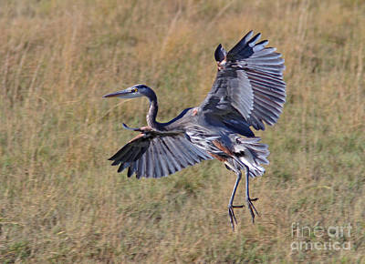 Blue Photograph - Great Blue Heron by Gary Wing
