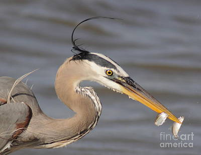 Great Blue Heron Gets Twofer Print by Robert Frederick