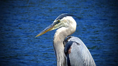 Photograph - Great Blue Heron Glamor Shot by Judy Wanamaker