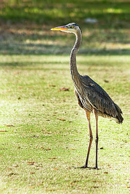 Photograph - Great Blue Heron Golfing by Kay Brewer