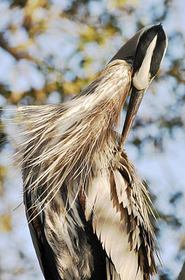 Photograph - Great Blue Heron Grooming by Rose  Hill