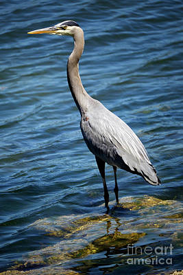 Photograph - Great Blue Heron Hunting For Fish by Terry Elniski