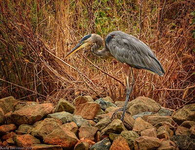 Photograph - Great Blue Heron I by Kathi Isserman