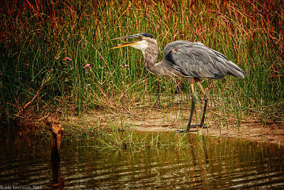 Photograph - Great Blue Heron II by Kathi Isserman