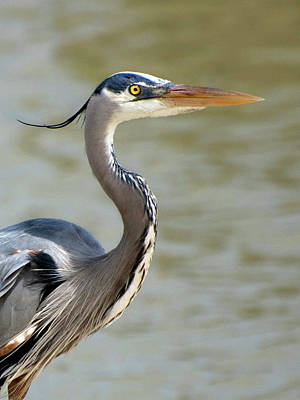Photograph - Great Blue Heron In April by Kathleen Stephens