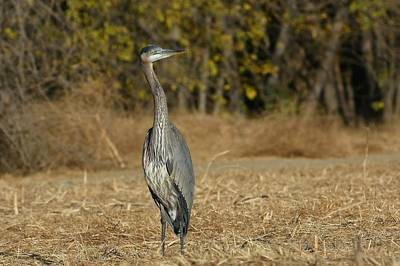 Photograph - Great Blue Heron In Autumn 2 by Fraida Gutovich