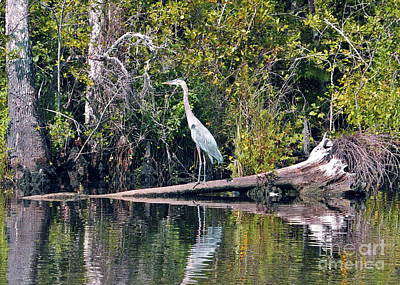 Photograph - Great Blue Heron In Carolina by Lydia Holly