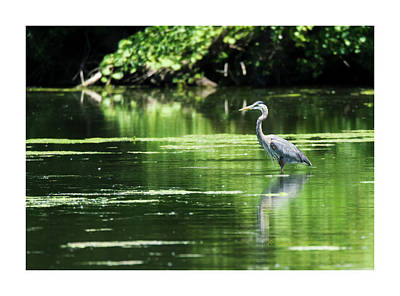 Photograph - Great Blue Heron In Fine Plumage by Edward Peterson