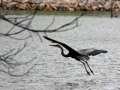 Photograph - Great Blue Heron In Flight 6 by David Dunham
