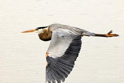 Great Blue Heron In Flight Art Print by Dennis Hammer