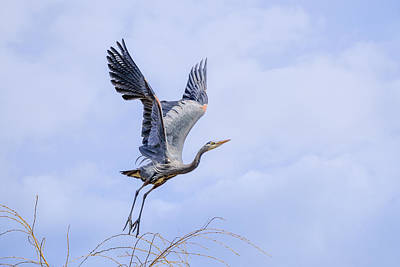 Photograph - Great Blue Heron In Flight by Keith Boone