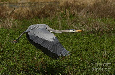 Photograph - Great Blue Heron In Flight by Myrna Bradshaw