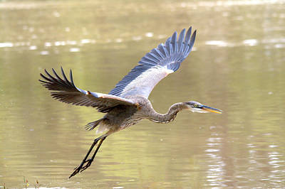 Great Blue Heron In Flight Over The River Art Print