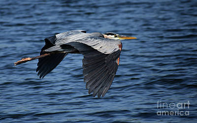 Photograph - Great Blue Heron In Flight by Skip Willits