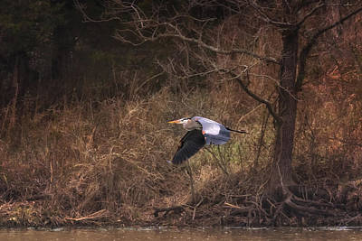 Photograph - Great Blue Heron In Flight by Susan Rissi Tregoning