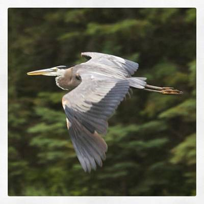 Ornithology Photograph - Great Blue Heron In Flight. They Look by Heidi Hermes