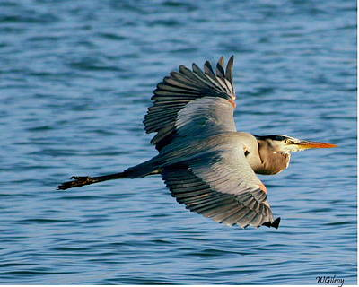 Sebastian Florida Photograph - Great Blue Heron In Flight by W Gilroy