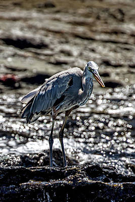 Photograph - Great Blue Heron In Galapagos by John Haldane