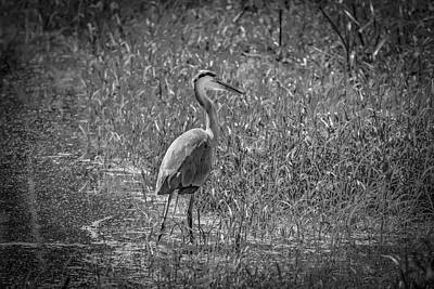 Photograph - Great Blue Heron In Gray by Ray Congrove