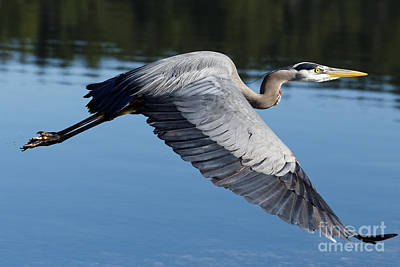 Photograph - Great Blue Heron In Motion by Sue Harper