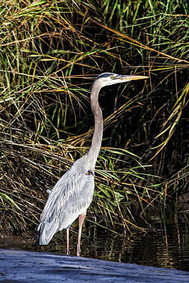 Photograph - Great Blue Heron In Salt Marshes by John Haldane