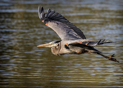 Photograph - Great Blue Heron In Stratford by Will Bailey