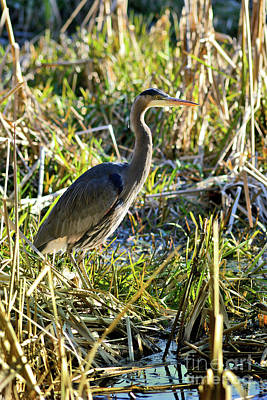 Photograph - Great Blue Heron In Tall Grass by Terry Elniski