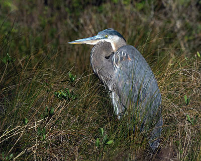 Photograph - Great Blue Heron In The Grass by Van Sutherland