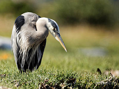 Photograph - Great Blue Heron In The Green by Sue Harper