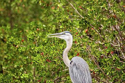 Great Blue Heron In The Mangroves Art Print by Scott Pellegrin