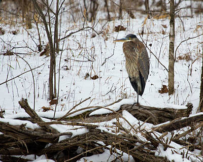 Great Blue Heron In The Snow Art Print