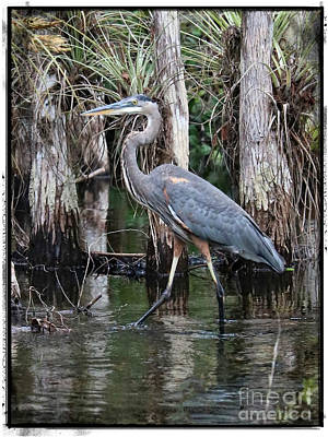 Photograph - Great Blue Heron In The Swamp With Border by Carol Groenen