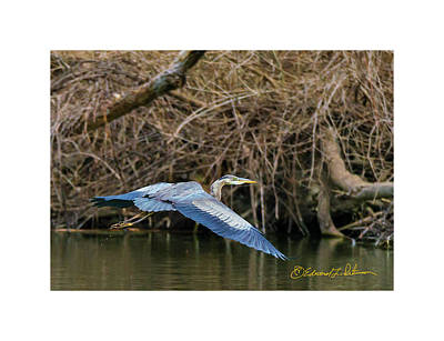 Photograph - Great Blue Heron Inbound by Edward Peterson