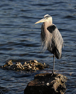 Photograph - Great Blue Heron by Jack Nevitt