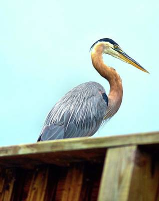 Photograph - Great Blue Heron by James Potts