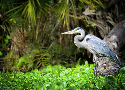 Go For Gold - Great Blue Heron by Philip Rispin