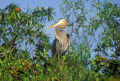 Photograph - Great Blue Heron by John Burk