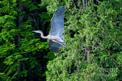 Photograph - Great Blue Heron Juvenile by Sharon Talson