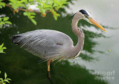 Photograph - Great Blue Heron by Karen Adams