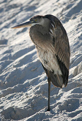 Photograph - Great Blue Heron by Kathleen Scanlan