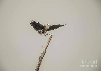 Photograph - Great Blue Heron Landing by David Bearden