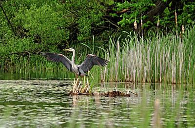 Photograph - Great Blue Heron Landing by Debbie Oppermann