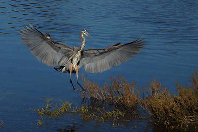 Digital Art - Great Blue Heron Landing by Ernie Echols
