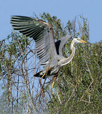 Photograph - Great Blue Heron Landing On Tree by William Bitman
