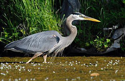 Photograph - Great Blue Heron by Larry Ricker