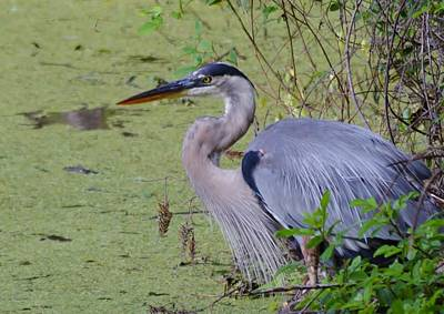 Photograph - Great Blue Heron Macro by Warren Thompson