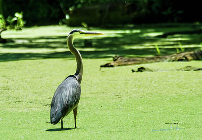 Photograph - Great Blue Heron Midday by Edward Peterson