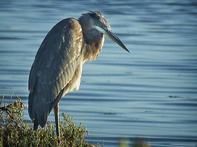 Photograph - Great Blue Heron by Morgan Wright