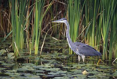 Spiers Photograph - Great Blue Heron by Natural Selection David Spier